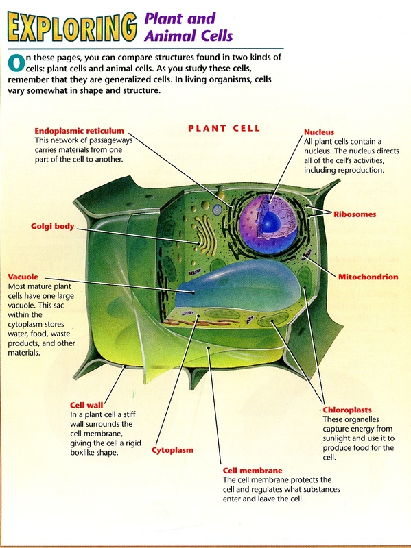 Mrinner plant cell diagram ccuart Image collections